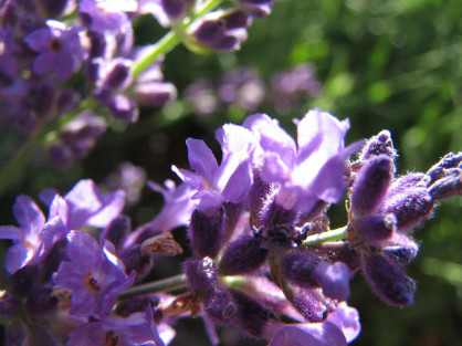 Cure sinus infections naturally using these herbs
