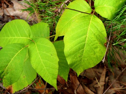 How to heal poison ivy rash naturally